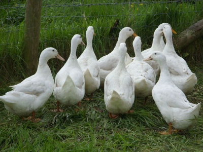 White Cambell ducks